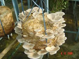 MASHROOM CULTIVATION