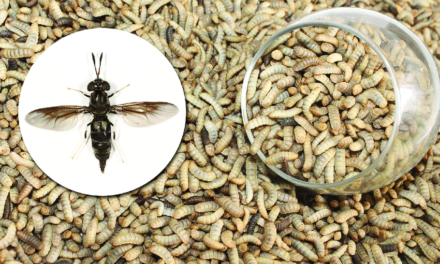 Black Soldier Fly (BSF)